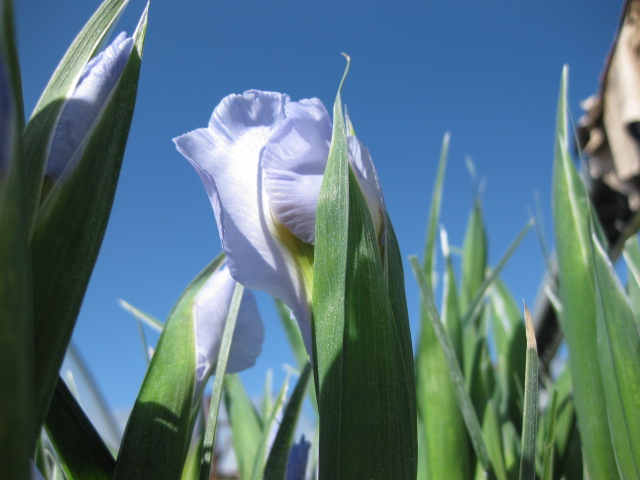 Sun Valley Field Grown Iris budding in the Arcata Morning Sun