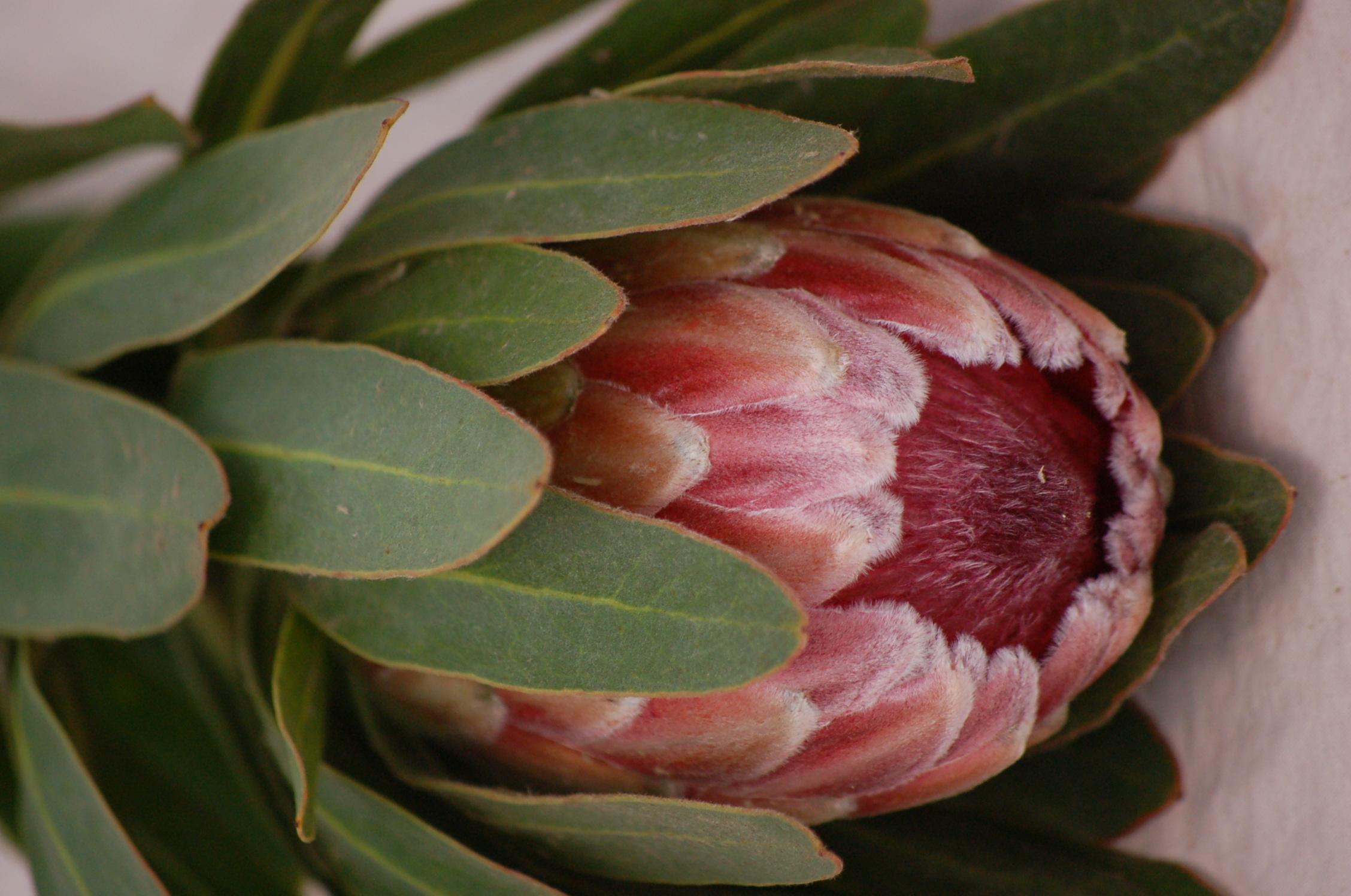Resendiz Protea Pink Ice