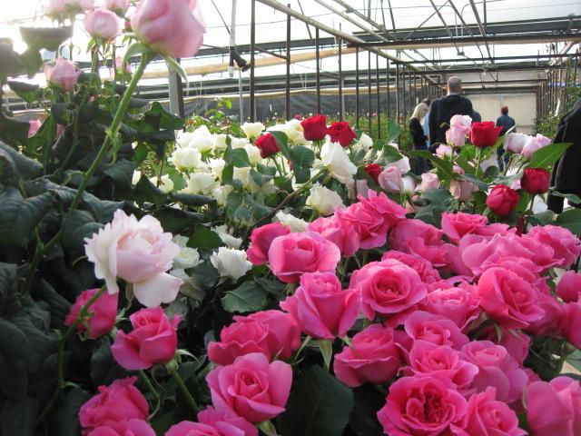 David Austin Roses at Green Valley Floral Greenhouses