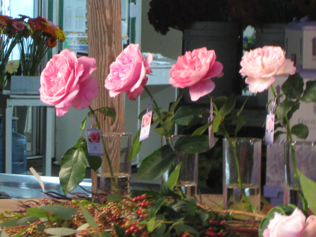 5th Stage of Opening on Several David Austin Rose Varieties