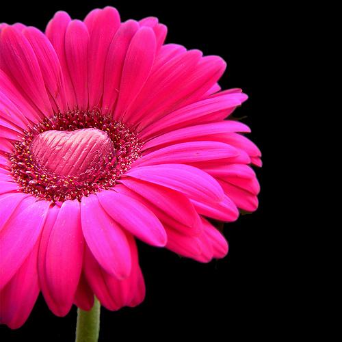 """stock """"heart"""" flower"""