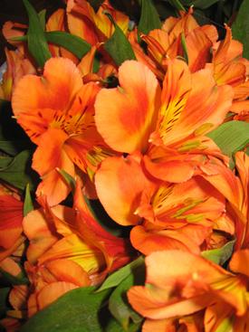 Alstroemaria-Orange