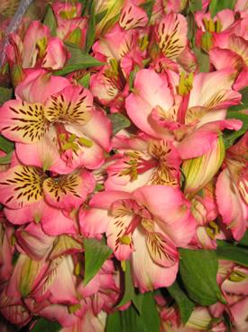 Alstroemaria-Pink-Bicolor