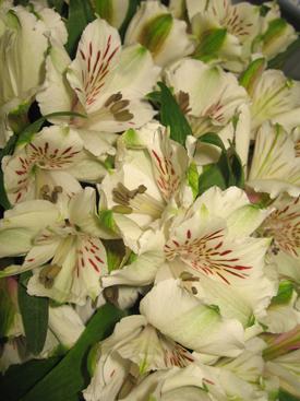 Alstroemaria-White