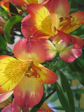 Alstroemeria-Yellow-Bicolor