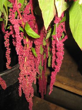 Amaranthus-Magenta-Hanging