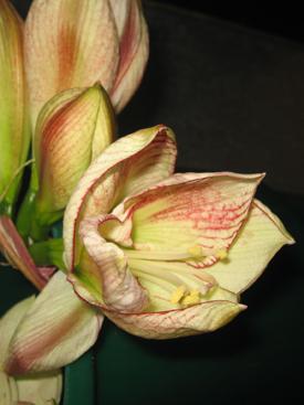 Amaryllis-Bicolor-White