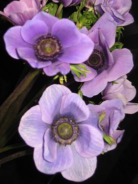 Anemone-Purple