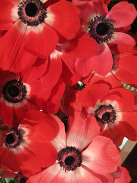Anemone-Red