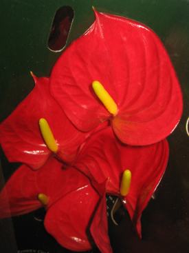 Anthurium-Red-Vito-Mini