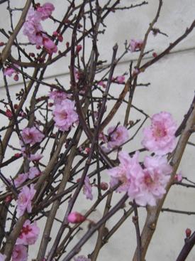AppleBlossom-Pink