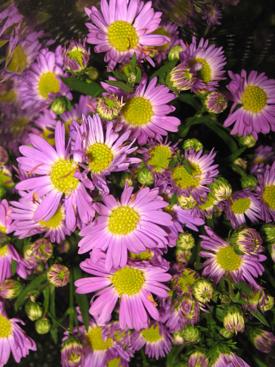 Aster-Lavender-Spray