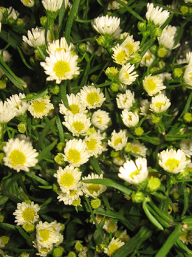 Aster-White-Spray1