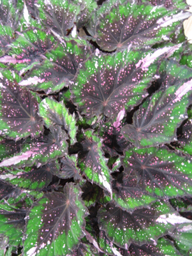 Begonia-Green-Angel-Wing-Variegated