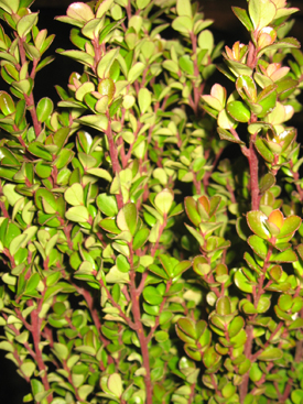 Boxwood-Green