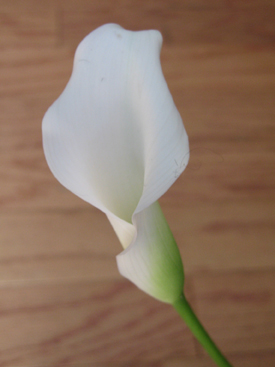 Calla-White-Mini