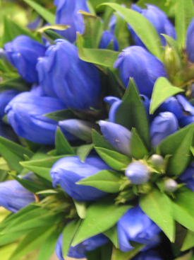 Campanula-Blue