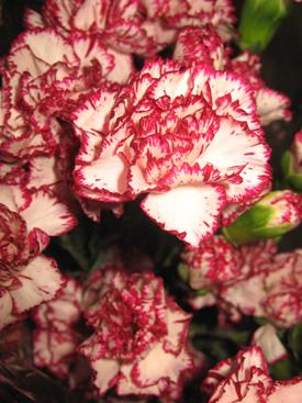 Carnation-Burgundy-Bicolor-Miniature
