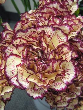 Carnation-Burgundy-Bicolor