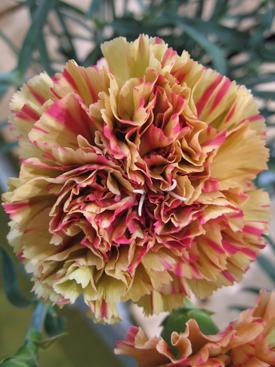 Carnation-Gold-Bicolor