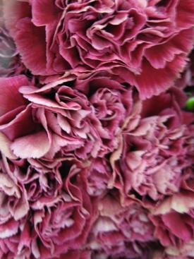 Carnation-Magenta-Bicolor