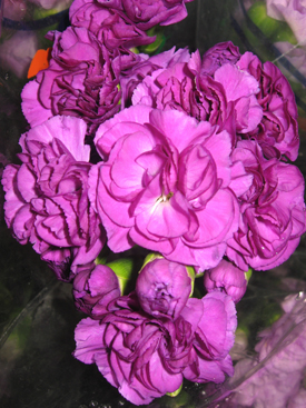 Carnation-Purple-Moonshadow-Mini-Florigene
