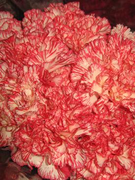 Carnation-Red-Bicolor