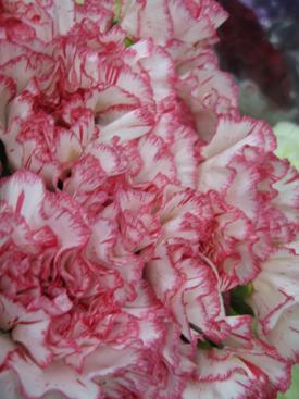 Carnation-Red-Bicolor2
