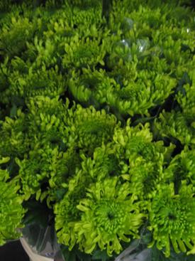 Chrysanthemum-Green-Anastasia-Esmeralda
