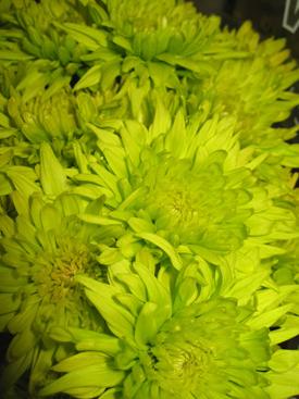 Chrysanthemum-Green- Cushion PomPon