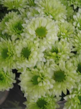 Chrysanthemum-Green-Daisy-PomPon