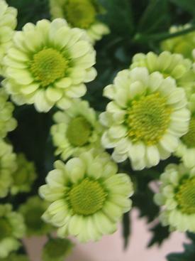 Chrysanthemum-Green-Daisy PomPon2