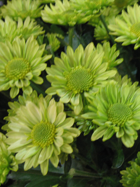 Chrysanthemum-Green-Daisy PomPon3