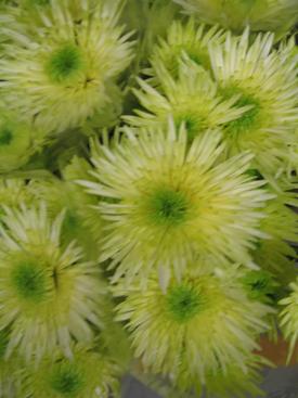 Chrysanthemum-Green-Fugi PomPon