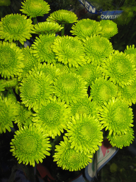 Chrysanthemum-Green-Button PomPon-Kermit