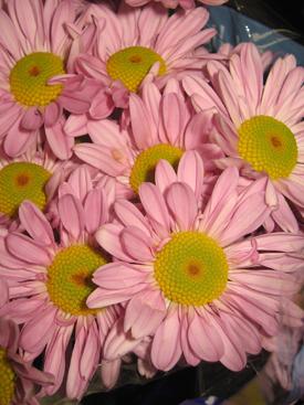 Chrysanthemum-Lavender-Daisy PomPon