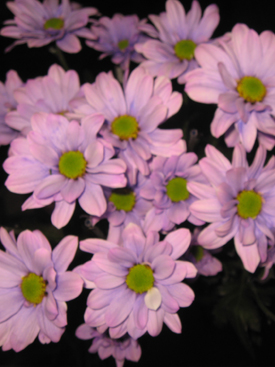 Chrysanthemum-Lavender Dyed-Daisy Pompon