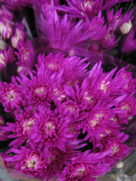 Chrysanthemum-Magenta-Dyed-Fugi PomPon