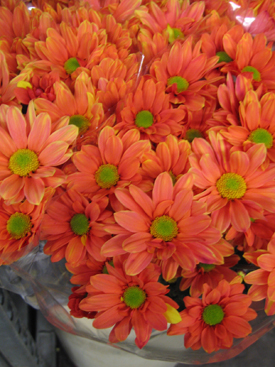 Chrysanthemum-Orange Dyed-Daisy PomPon