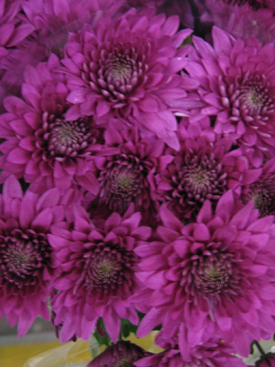 Chrysanthemum-Purple-Cushion PomPon