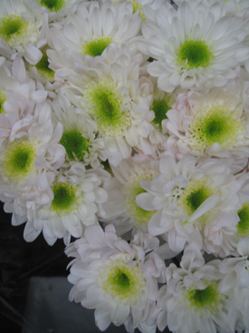 Chrysanthemum-White-Bicolor-Novelty-PomPon