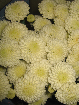 Chrysanthemum-White-Button PomPon
