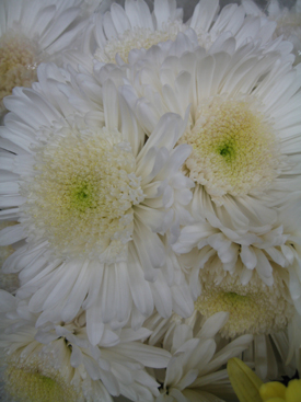 Chrysanthemum-White-Cremon