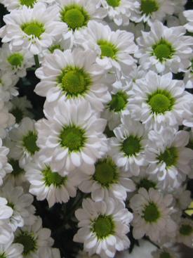 Chrysanthemum-White-Daisy PomPon