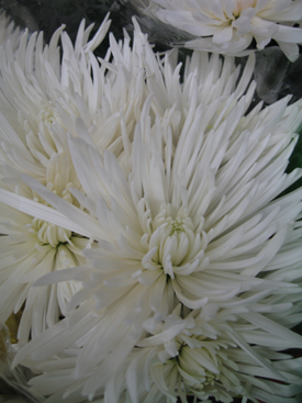 Chrysanthemum-White-Fuji