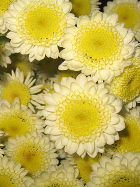 Chrysanthemum-Yellow-Bicolor Novelty PomPon