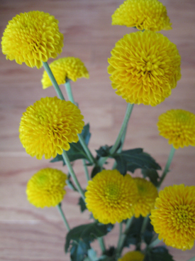 Chrysanthemum-Yellow-Button PomPon2