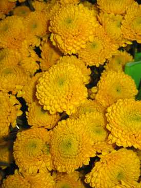 Chrysanthemum-Yellow-Button Pompon
