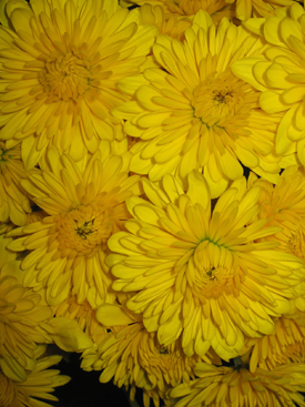 Chrysanthemum-Yellow-Cushion PomPon