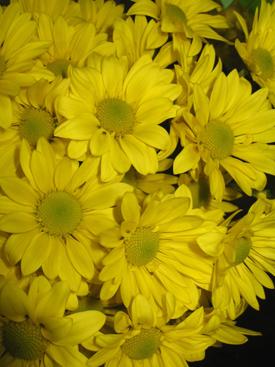 Chrysanthemum-Yellow Daisy PomPon